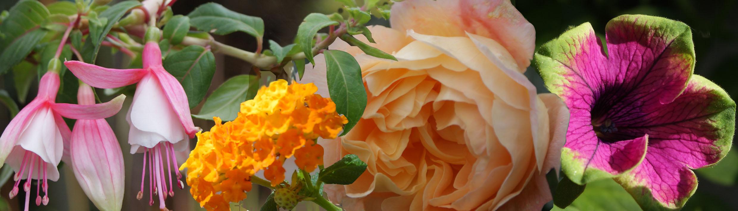 Garten & Balkonblumen